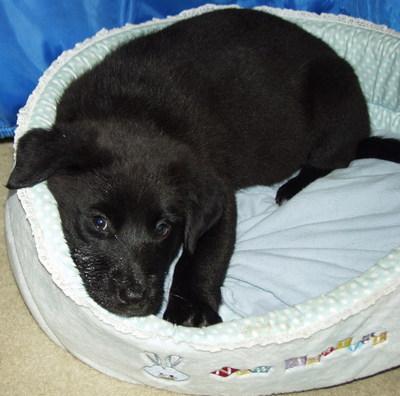Angel Puppies Dog Blog Zelda Adopt Me Now On Petfindercom Black